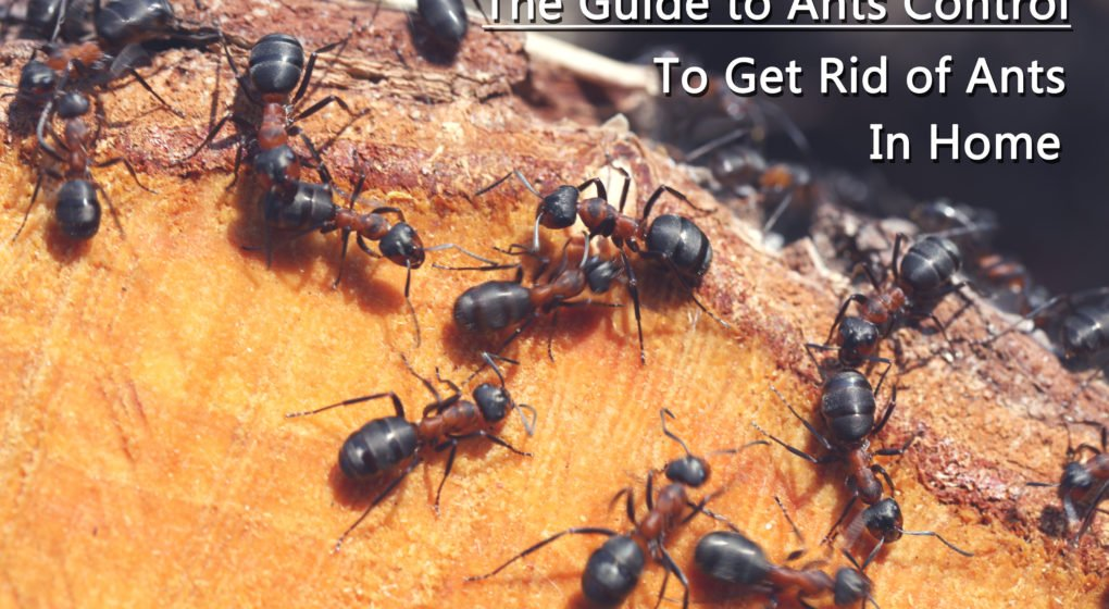 Guide To Ants Control