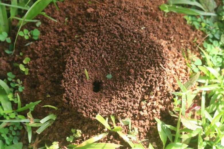 Ant nest in a yard.