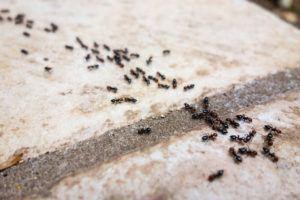 Ants on house floor