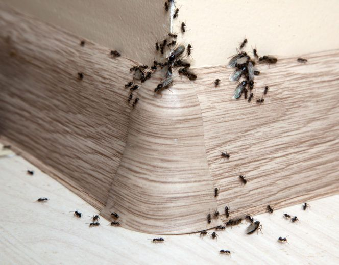 Ants in the house on the baseboards and wall angle.