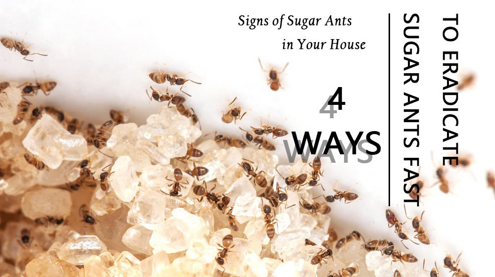 How to Get Rid of Sugar Ants Fast? 4 Ways to Eradicate These Pesky ...