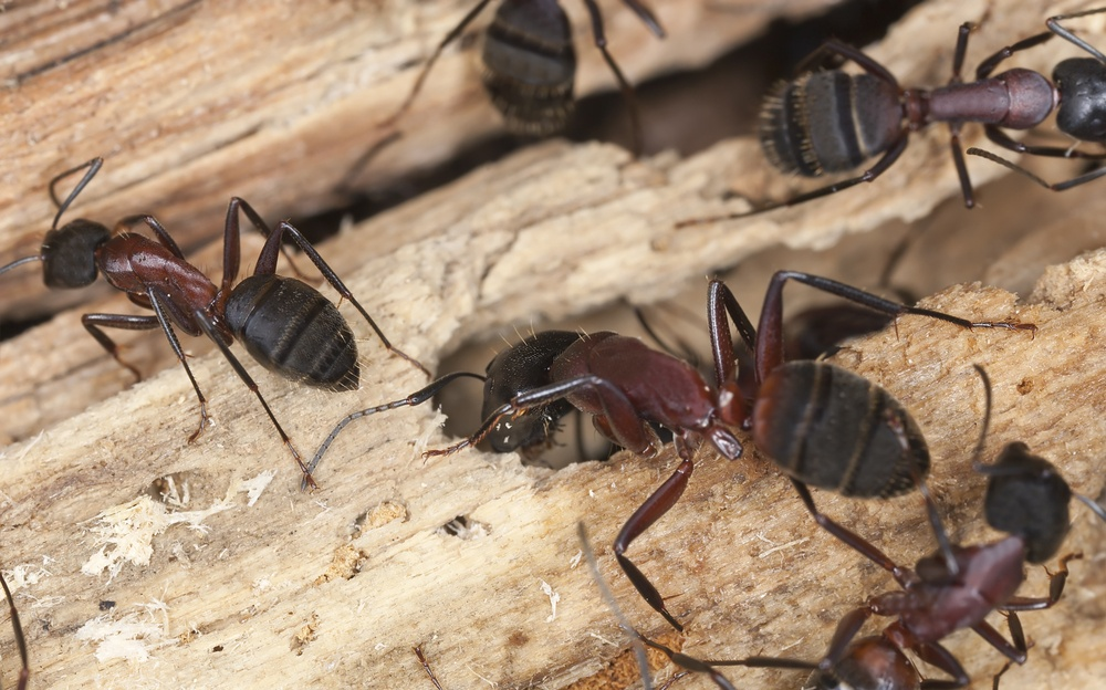 Several carpenter ants on wood.