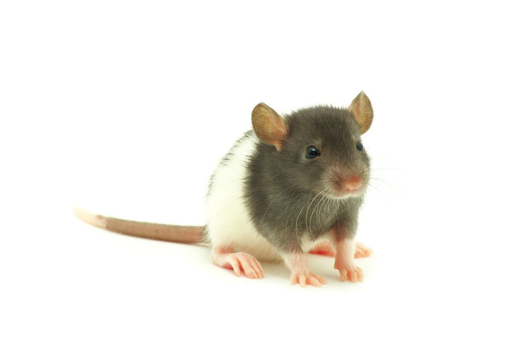 A cute rat on white background.