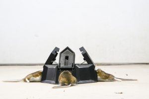 Three holes trap with trapped mice in each compartment, from mouse infested area.