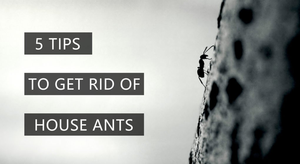 GET RID OF HOUSE ANTS