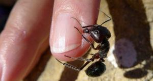 Ant bites on finger
