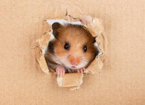 Little hamster looking up in cardboard side torn hole.
