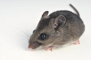 Deer mouse on white background.