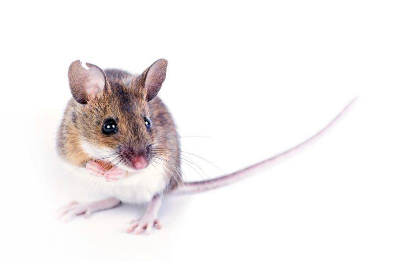 Field mouse on white background.