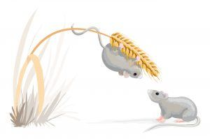 Mouse on a corn stalk.