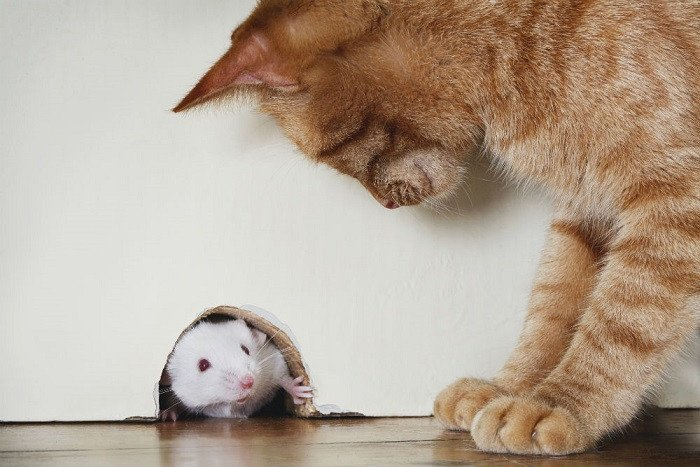 A cat is looking at the mouse