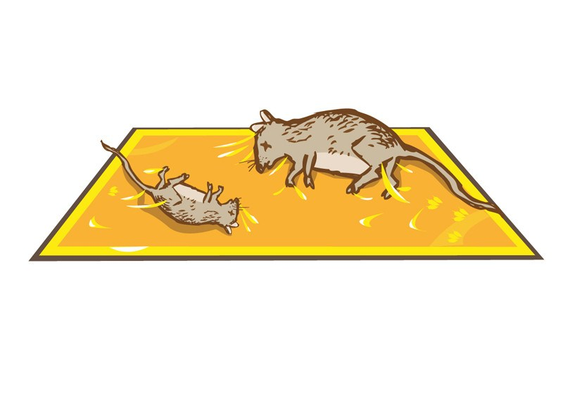 Glue trap with dead mice.