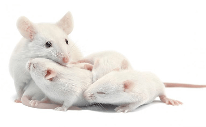 White mouse family