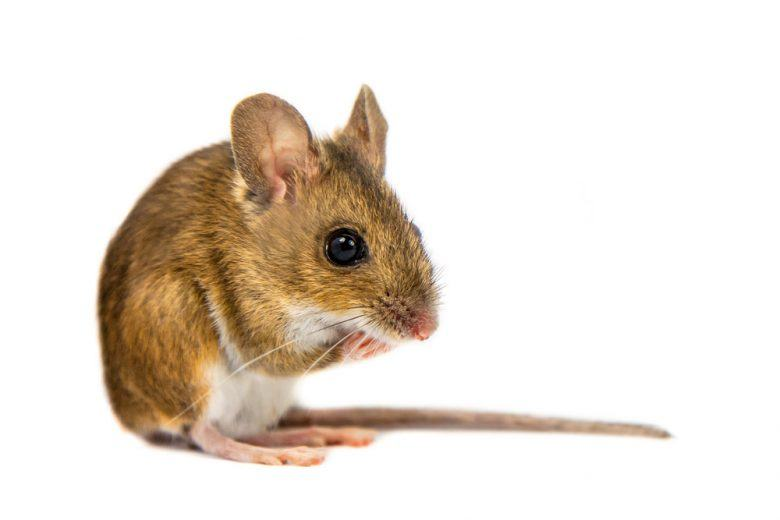 A mouse on white background.