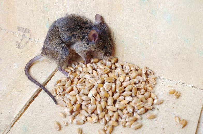 Dead mouse near poison grain.