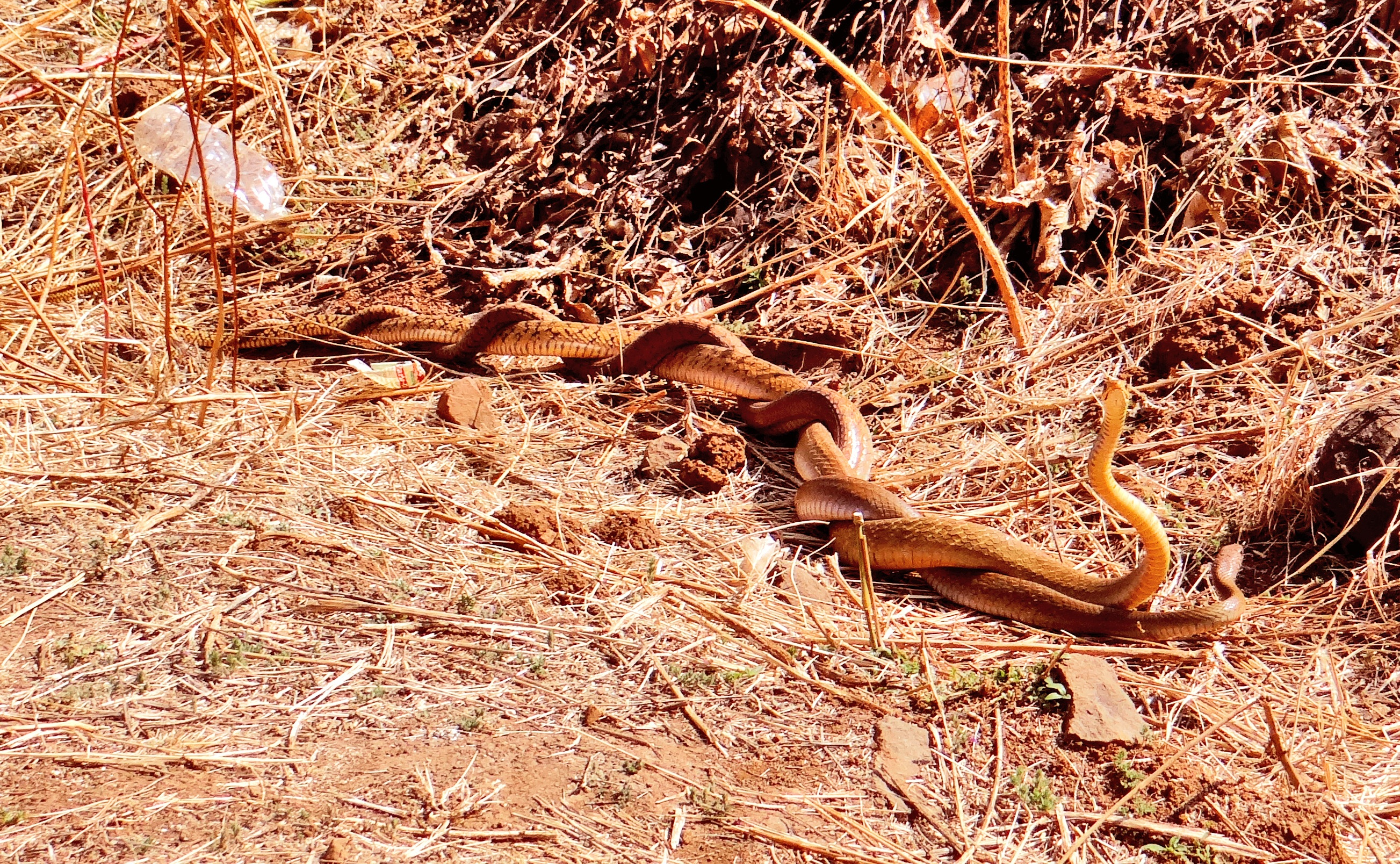 Snakes pair mating in a deep lone forest