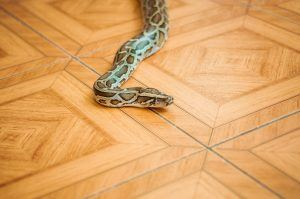 Snake on house wooden floor