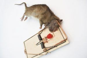 Rat caught in a wooden trap with red spice drop bait.