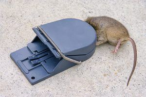 Snap trap with a mouse.