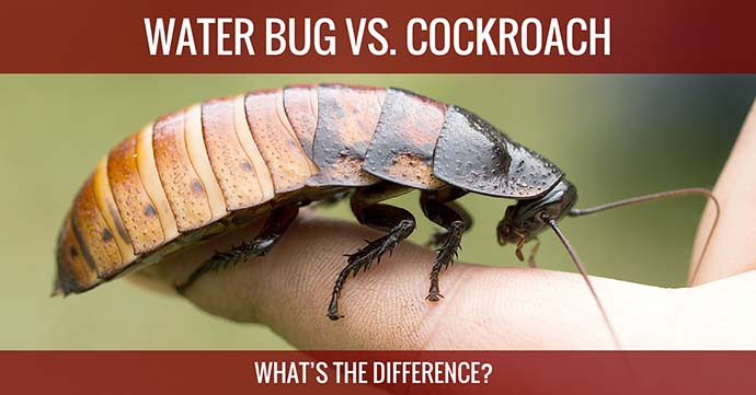"A woter bug on the finger with words ""WATER BUG VS. COCKROCH"" above and words ""WHAT'S THE DIFFERENCE?"" below."