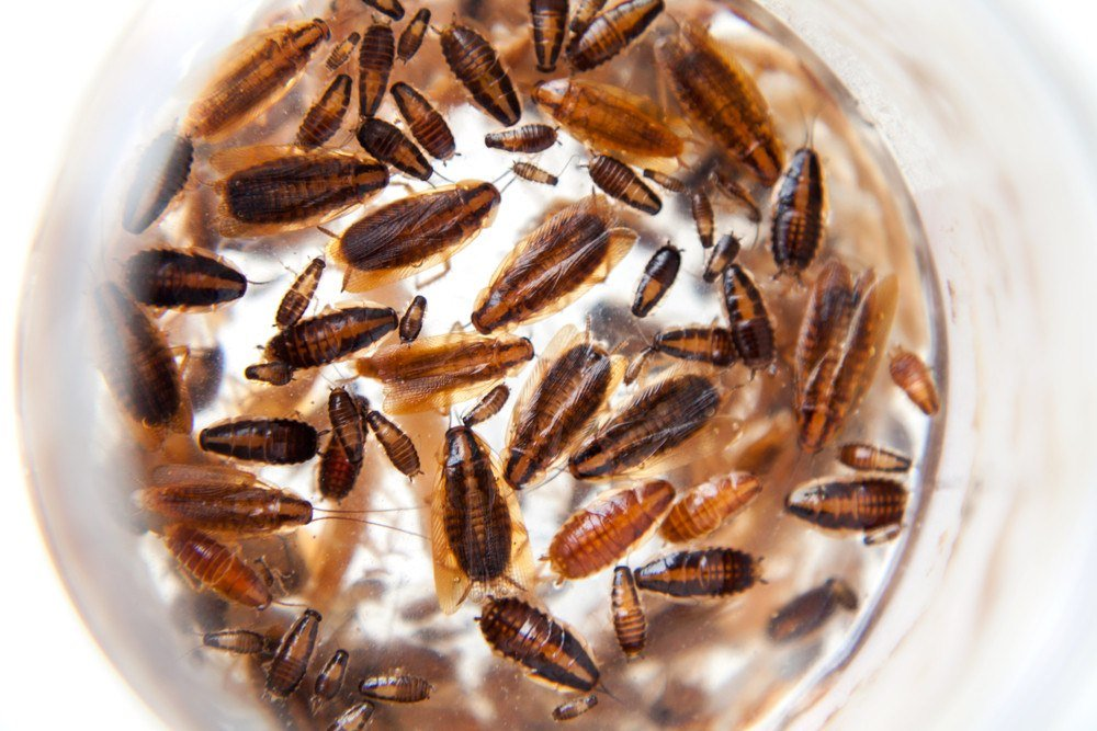 Group of German cockroaches of different ages. Beautiful dead cockroaches pattern background on white.