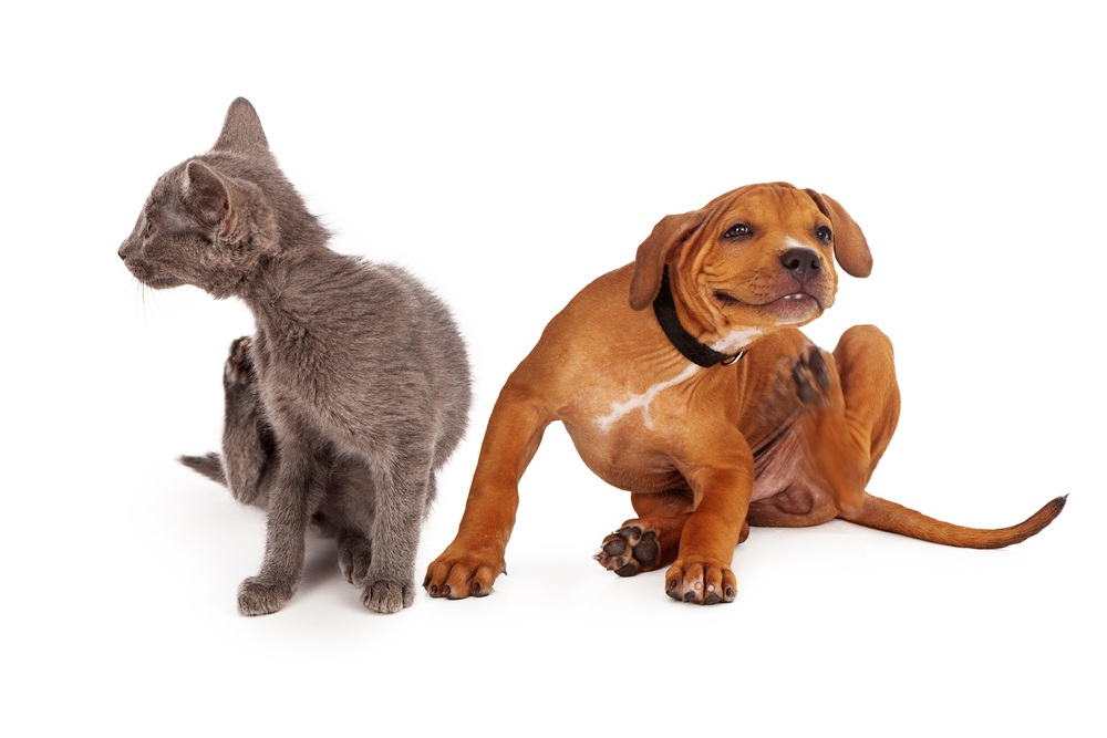 A small kitten and puppy sitting together on a white background and scratching.