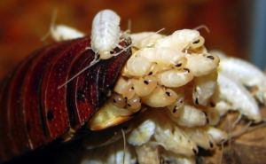 Close-up of baby cockroaches.
