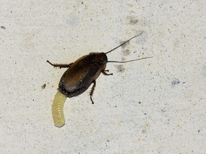 Female cockroach laying an ootheca egg case.