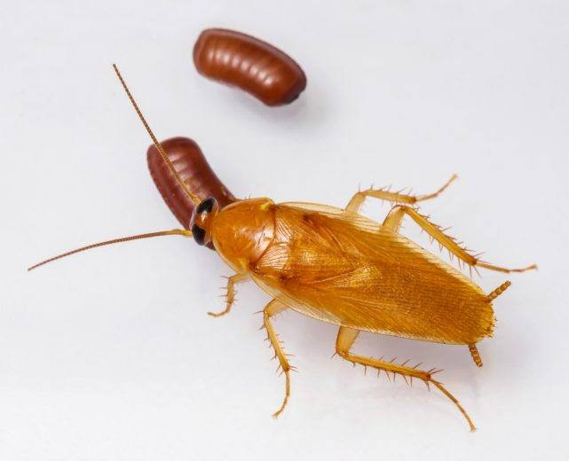 Cockroach and its eggs on white background.