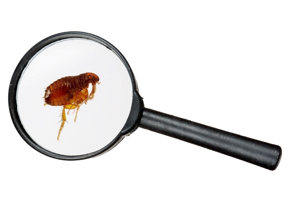 Flea under real magnifying glass over white.