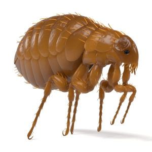 How To Kill Fleas 5 Most Effective Ways To Kill In House