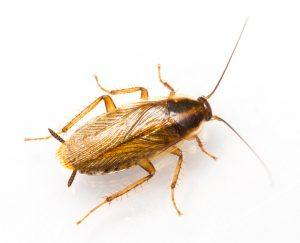 German cockroach on white background.