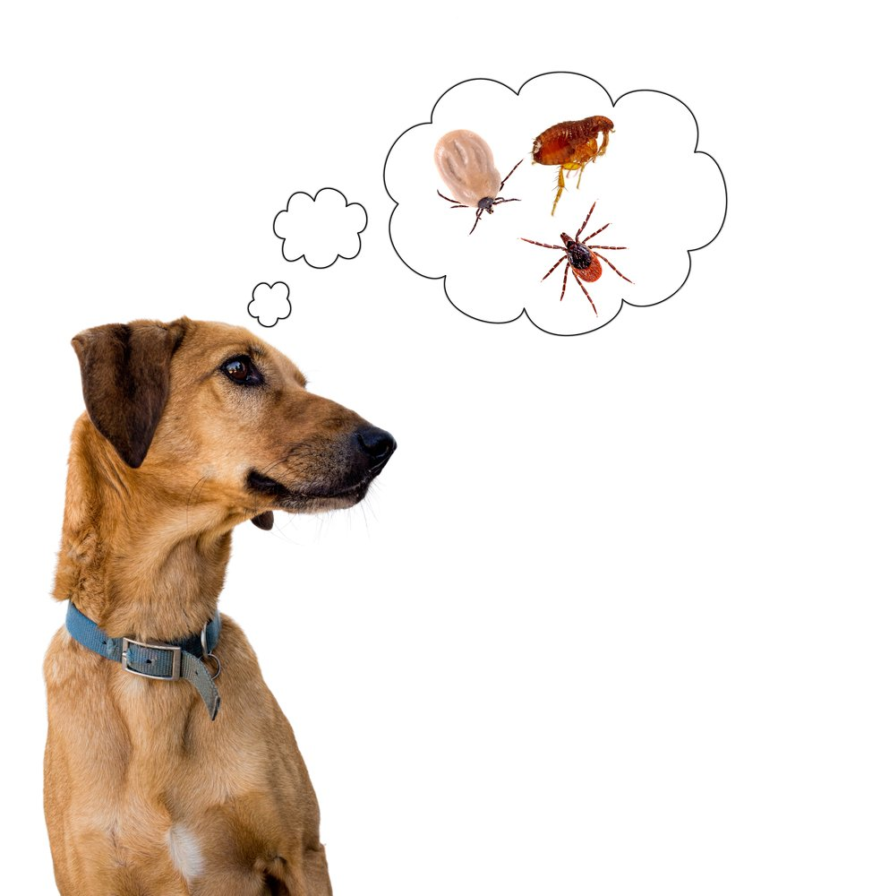 A dog on white is thinking problems of insects.