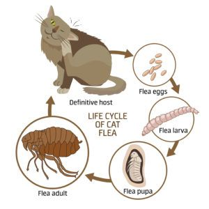 The life cycle of cat flea on white background.