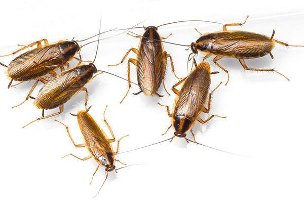 Roaches on white background.