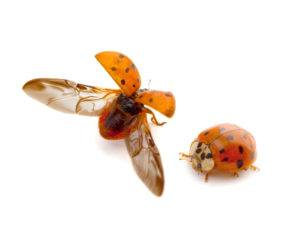Multicolored Asian lady beetles on white background.