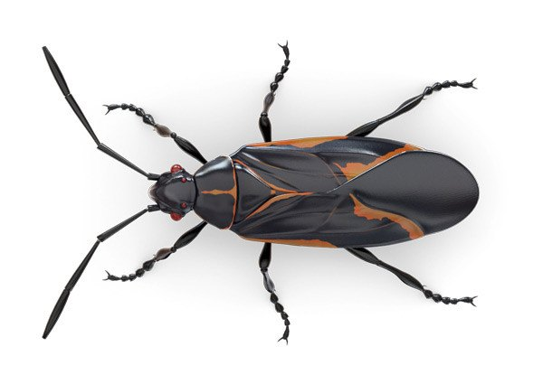 Boxelder bug isolated on white background.
