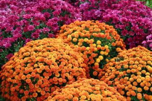 Colorful mum flowers for Spring or Fall season.