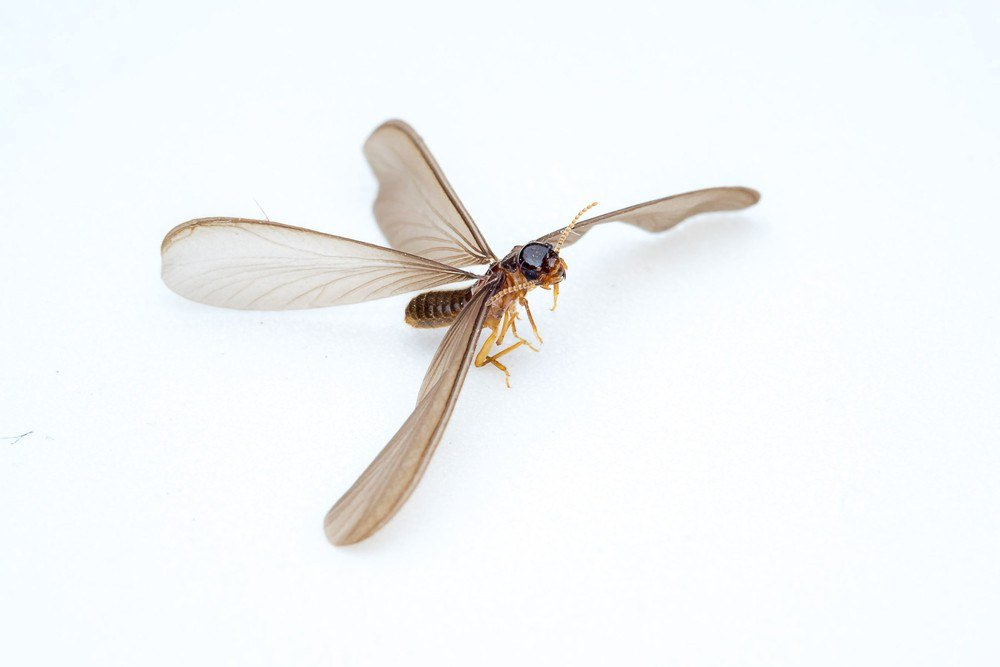 Isolated flying termite on white background.