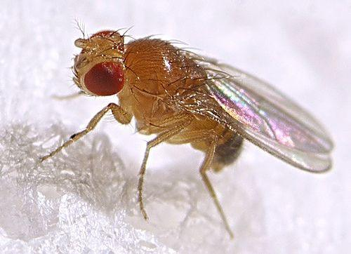 Fruit Flies Vs Gnats: 4 Ways to Kill Gnats & 3 Ways to ...