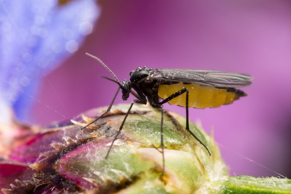Dark-winged fungus gnat on flower bud on purple background.