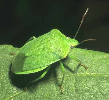 What Does a Stink Bug Look Like Identification Size etc