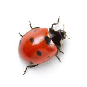 A lady bug on white background.