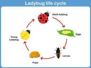 20 Ladybug Facts They Didn't Teach You in School - Pest Wiki