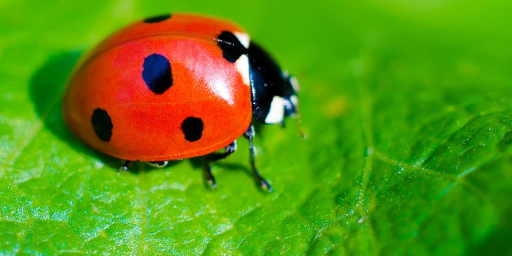 20 Ladybug Facts They Didnt Teach You In School Pestwiki