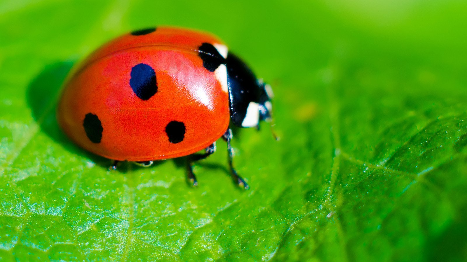 Ladybug on green leaf.