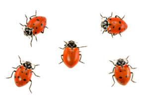 Lady bug without spots amongst other four with spots on white background.