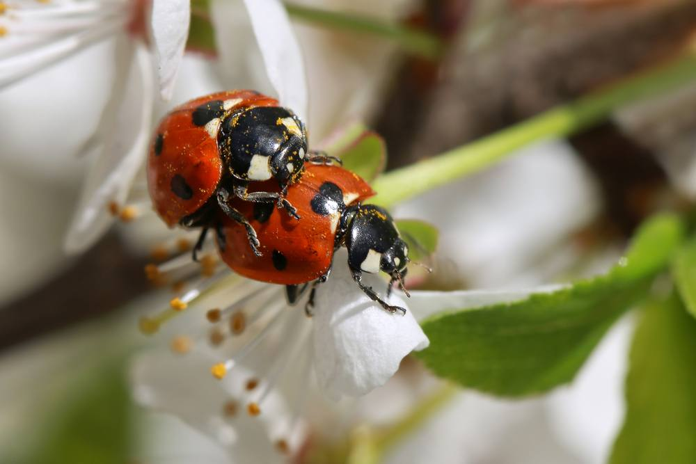 Love of two ladybugs on a blossoming spring branch.