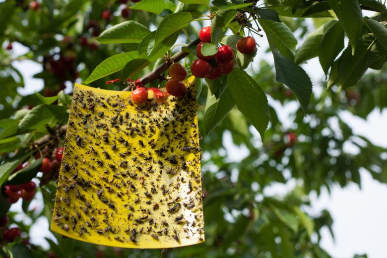 Yellow sticky fly paper with lots of flies trapped on it hanging on a cherry tree.