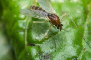 Close up macro of small sand fly gnat on green leaf.